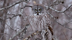 Great Grey Owl perched on branch turns head back and forth Stock Footage