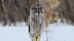 Great Grey Owl perched on post turns head with blurred forest background Stock Footage