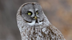 Great Grey Owl turns head with blurred forest background medium shot Stock Footage