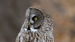 Great Grey Owl perched on post turns head with blurred forest background close Stock Footage