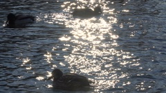 Wild duck swimming in water Stock Footage