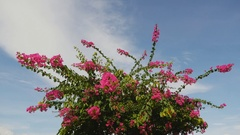 Bougainvillea bush against the sky in the garden Stock Footage