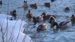 Wild duck in the water Stock Footage