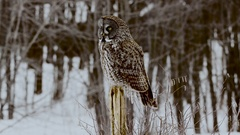 Great Grey Owl perched on post turns head with forest background Stock Footage