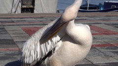 Zoom out prinking pelican in harbor Stock Footage