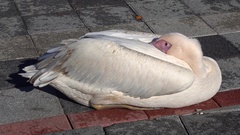 Pelican resting on the ground with its eyes open Stock Footage
