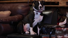 Cute pitbull dog sitting in chair Stock Footage