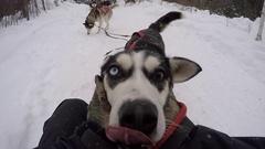 Dogsledding pov petting happy husky Stock Footage