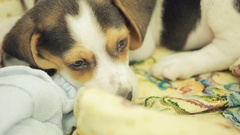 Cute Beagle puppy in the litter basket for dogs Stock Footage