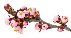 Twig blossoming apricot Stock Photos