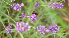 Bumblebee on lavender flower collecting nectar. Stock Footage