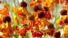 Bumblebee flying to flower collecting nectar. Stock Footage