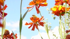 Bee flying to garden flower collecting nectar. Stock Footage