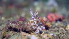 Wunderpus octopus close-up Stock Footage