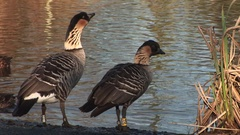 Nene geese from Hawaii next to water taking a drink Stock Footage
