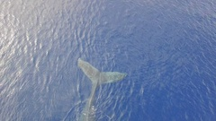 Aerial, Top View, Humpback Whales Momma and Calf. Baby Whale diving. Stock Footage