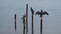 Three black cormorants dry after fishing Stock Footage