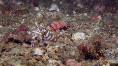 Wunderpus octopus changing color Stock Footage