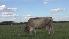 Beige cow on chain is on meadow in front of dense forest in Canada Stock Footage