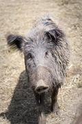 Wild boar in a park on the nature Stock Photos