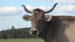 Head beige cow with large horns on green meadow in Canada Stock Footage