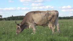 Animal Beige cow grazing in meadow on background of green forest Stock Footage