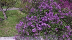 Botanical garden with lilac, green trees, bushes, among which people walk Stock Footage