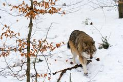 Gray wolf (Canis lupus), Bavarian Forest National Park, Bavaria, Germany Kuvituskuvat