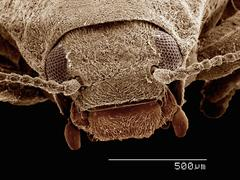 Scanning electron micrograph of a riffle beetle (Coleoptera: Elmidae) Stock Photos