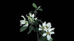 Time-lapse of blooming apple tree branch with ALPHA Stock Footage
