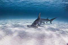 Great Hammerhead shark, underwater view Kuvituskuvat