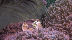 Porcelain crab (Porcellanidae) in anemone Stock Footage