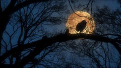 Scary Creepy Crow or Raven Sitting on Tree Branch During a Harvest Moon Night Stock Footage