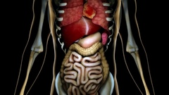 4K Healthy Internal Organs in a Transparent Human Body Anatomical 3D Animatio Stock Footage