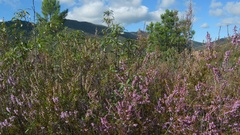 Dolly shot over Heather Flowers with mountains in background, left to right. Stock Footage