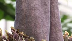 Rare Titan arum corpse plant blooming Stock Footage