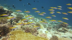 Vibrant colourful yellow fish on coral reef Stock Footage