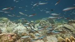 Blue stripe fusiliers school on reef Stock Footage