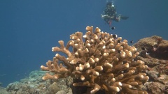 Pan out to marine biologist diver surveying reef Stock Footage
