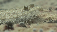 Flounder flat-fish passing by Stock Footage
