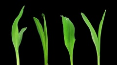 Time-lapse of germinating maize vegetables with ALPHA channel Stock Footage